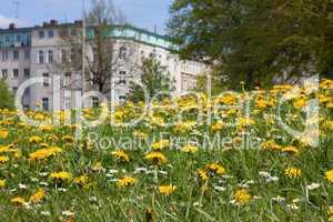 Wiese mit Löwenzahn und Gänseblümchen in Hamburg-Altona