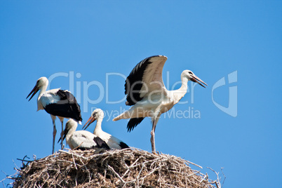 Junge Störche im Nest, young storks in a nest