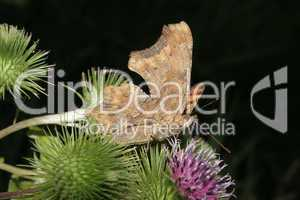 C-Falter (Polygonia c-album) / Comma (Polygonia c-album)