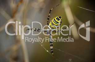 Wespenspinne mit Netz in Nahaufnahme
