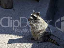 raccoon in zoo eat cookie
