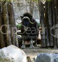 Musk ox stand in zoo