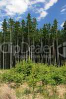 alte und junge Nadelbäume im Wald
