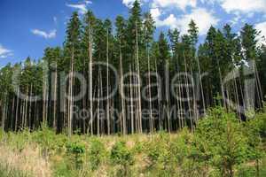 alte und junge Nadelbäume