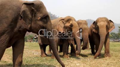 Elefantenherde im Elephant Nature Park, Thailand