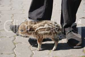 Wildschwein klein