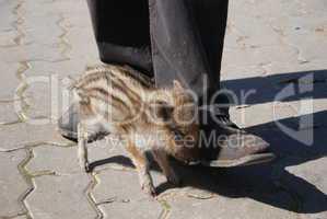 Wildschwein klein heißt Frischling