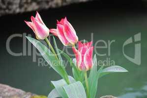 Einsame Tulpen am Wasser
