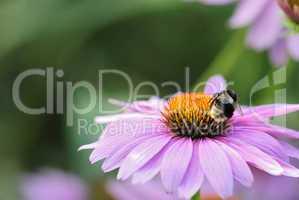pollenhummel 10