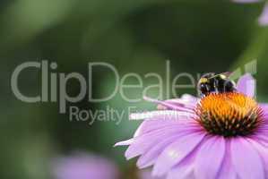pollenhummel 15