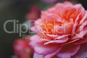 rosenzart 1