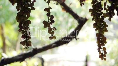 Fresh grapes growing in garden - Agriculture