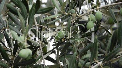 Fresh olives growing in garden - Agriculture - Farm