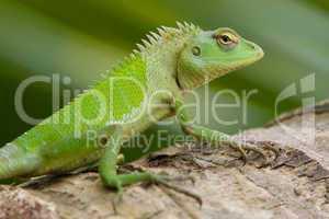Female green garden lizard (Calotes calotes)