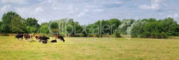 Kühe Kuhherde auf der Weide Panorama Zusammenstellung