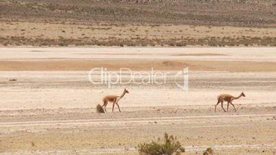 Lamas (Vikunjas) in Anden (Peru)