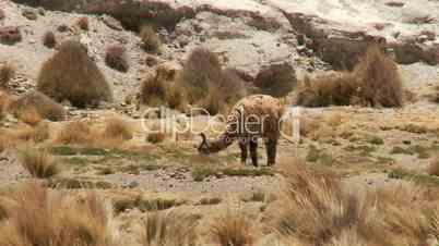 Lama in Anden Hochebene