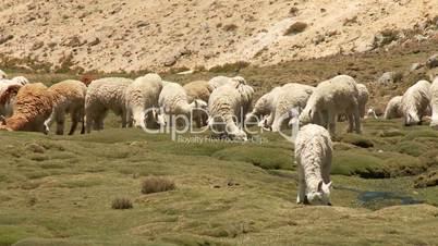 Lama (Alpaca) Herde in Peru