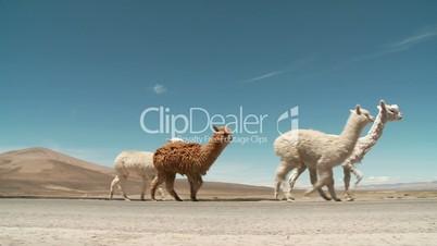 Lamas auf Straße