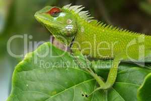 Male green garden lizard (Calotes calotes)
