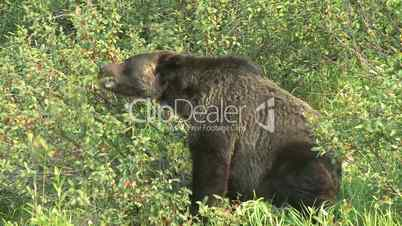Grizzly Bear feeding on buffalo berries