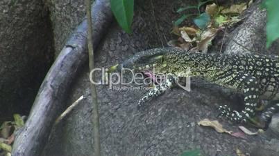 Monitor Reptile, Australia
