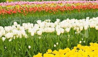Dutch tulips flowerbed in Keukenhof