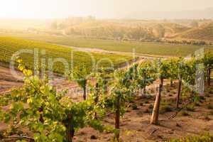 Beautiful Lush Grape Vineyard in The Morning Sun and Mist