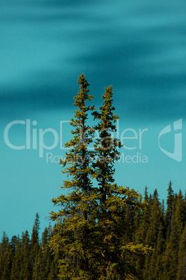 Trees at Peyto Lake