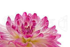 Close-up - pink dahlia (georgina)