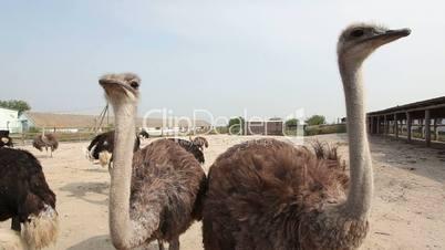 Ostrich's farm