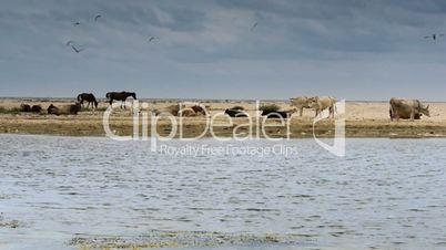 Domestic animals on sandy beach