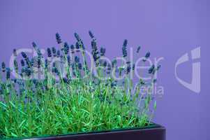 Lavendel vor lilafarbener WandLavender in front of a purple wall