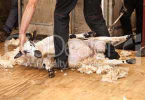Sheep shearing at fair