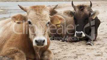 Dairy cows (Bos taurus) resting on beach