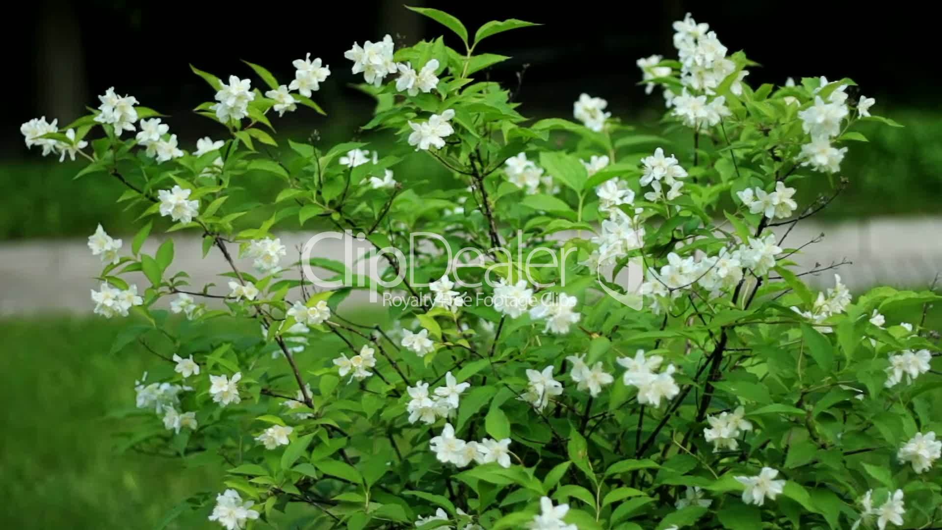 Jasmine Flowers Royalty Free Video And Stock Footage