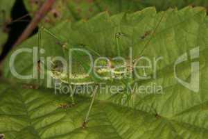 Zartschrecke (Leptophyes punctatissima) / Speckled bush-cricket