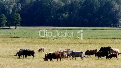 Cattle Coloured Meadow