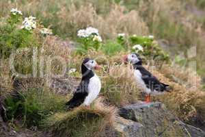 Iceland puffin bird