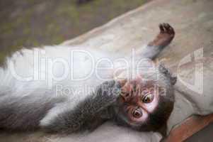 Macaque Baby is relaxing