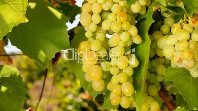 Inspection of white grapes
