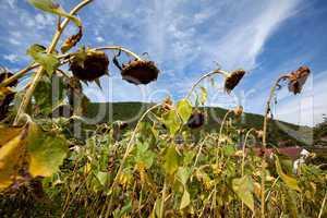 Sonnenblume Helianthus annuus vor Himmel mit Wolken