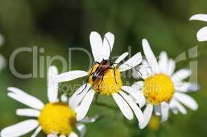 beetle on camomile