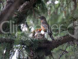 American Robin And Offspring