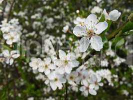 Blackthorn blooming, Prunus spinosa