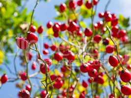 Rose hip on rose bush
