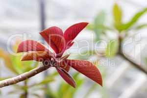 Euphorbia grantii (Synadenium grantii)