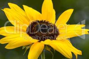 Gemeine Sonnenblume - Helianthus annuus