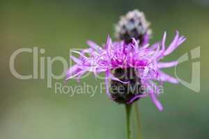Skabiosen-Flockenblume - Centaurea scabiosa