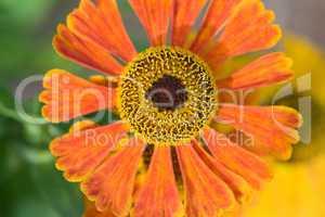 "Sonnenbraut - Helenium hybrid ""Waltraud"""